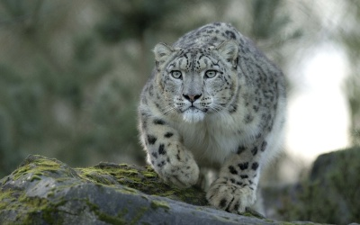 snow-leopard-hd-1920x1200